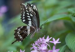 JSM_0585swallowtail1jsm (JayEssEmm) Tags: butterfly butterflies tucson arizona az jsmcelvery mcelvery