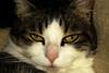 Ellen's eyes (Alfredo Liverani) Tags: happy caturday happycaturday yourcatseyes portrait beautyofcats canong5x canon g5x pointandshoot point shoot ps flickrdigital flickr digital camera cameras europa europe italia italy italien italie emiliaromagna romagna faenza faventia faience animal kitten gatto gatta gatti gatte cat cats chats chat katze katzen gato gatos pet pets tabby furry kitty moggy moggies gattino animale ininterni animaledomestico aliceellen alice ellen