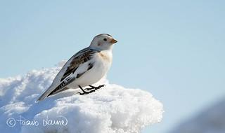 Pulmunen, Plectrophenax nivalis, Snow Bunting 8.4.2018