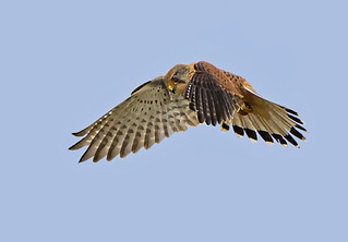Female Common Kestrel ( Falco tinnunculus ) - The Windhover !!