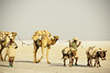 loaded with salt (rick.onorato) Tags: africa ethiopia salt flats camels herder caravan