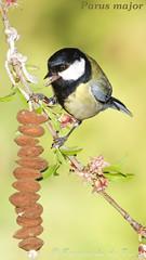 Parus major (Carbonero comun) (F de Toro) Tags: adulto animales aves birds carbonerocomun catalunya elvendrell españa fauna jardines litoral paridae parusmajor spain tarragona