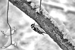 Downy Woodpecker (karma (Karen)) Tags: baltimore maryland home backyard birds downywoodpecker dof bokeh mono bw hmbt topf25 cmwd
