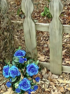 BLUE ROSES AND A WOODEN FENCE