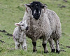 Saddleworth Spring Lambs (Craig Hannah) Tags: lambs sheep saddleworth greenfield ewe agriculture farm farmland moorland uplands young spring westriding yorkshire oldham greatermanchester england uk craighannah 2018 april farming lambing