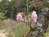 18o8645 (kimagurenote) Tags: 多摩森林科学園 tamaforestsciencegarden 桜 sakura cherry blossom prunus cerasus flower tree 東京都八王子市 hachiojitokyo