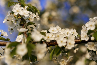 White cherry blossom - with a little fly