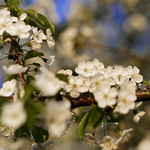White cherry blossom - with a little fly thumbnail