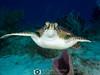 Racing Turtle (R. Donald Winship Photography) Tags: aquaticlife chankanaabreef cozumel divingunderwater greenseaturtle