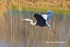IMG_4674 (nitinpatel2) Tags: great blue heron bird nature nitinpatel