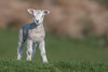 Too young for pierced ears (Tim Melling) Tags: newborn lamb peak district west yorkshire timmelling