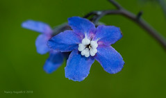 Wild forget-me-not blossom (Nancy Asquith) Tags: macromondays theblues