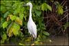 Snowy egret (G. Postlethwaite esq.) Tags: costarica limon nationalpark tortaguero beak bird centralamerica eye feathers leaves rainforest trees water white