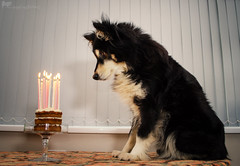 3/12/D taivas - happy 13th (sure2talk) Tags: taivas finnishlapphund happy13th 13thbithrday thirteentoday carrotcake birthdaycake cake candles nikond7000 nikkor1855mmf3556afs flash speedlight sb900 offcamera softbox diffused 12monthsfordogs 12monthsfordogs18 312d
