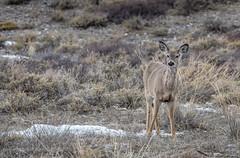 White-tailed deer (scepdoll) Tags: 2018 april1 grandtetonnationalparkgrosventre jackson jacksonhole kelly nationalelkrefuge spring tetons wyoming deer sagebrush snow thetetons ungulate whitetaileddeer