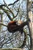 MWE-20180325-005.jpg (Schuttermajoor1974) Tags: ouwehandsdierenpark dierentuin katbeer kleinepanda rodepanda rhenen utrecht nederland nl
