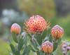 Tropical Pincushion Protea Blooms in Maui (knightime creations by bess) Tags: pincushion protea pincushionprotea orange tangerine tropical maui kula canon6d aliikulalavenderfarm akl