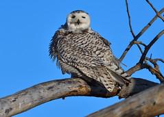 DSC_0465_edit (Hanzy2012) Tags: nikon toronto ontario canada wildlife bird owl snowyowl buboscandiacus afsnikkor500mmf4difedii d500