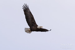 Female Bald Eagle stretches her wings - 7 of 30