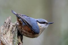 Nutatch  RSPB Silverdale F00157  D210bob DSC_7446 (D210bob) Tags: nutatch rspb silverdale f00157 d210bob dsc7446 nikond7200 birdphotography birdphotos naturephotography naturephotos nikon nikon200500f56 wildlifephotography lancashire leightonmoss