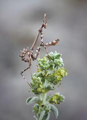 Pasó el invierno (Chusmaki) Tags: empusa ngc macro primavera empusas mantis omd1mii 60mm
