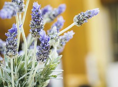 Fresh sprigs of lavender flowers form an interior decor of a room (Victor Wong (sfe-co2)) Tags: macro aroma aromatherapy aromatic art atmosphere background beauty bloom blossom botany bouquet bunch calm decor decoration design flora floral flower fragrance fresh garland greeting health herb herbal home interior inviting isolated label lavandula lavender lilac medicinal mood natural pattern perfume plant provence purple relaxation romantic scent spring summer violet wreath