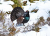 Capercaillie : Winter 2018 (Chas Moonie-Wild Photography) Tags: capercaillie scotland winter snow pine forest bird