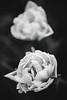 (Contebar) Tags: tulipani bianco e nero black white bokeh contrasto contrast flower blossom spring barbara conte
