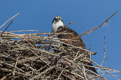 Osprey hanging out at the nest