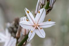 Branched asphodel (Adrià Páez) Tags: asphodelus ramosus branched asphodel asparagales flower nature plant white macro 60mm canon eos 7d mark ii park natural de la albufera mallorca