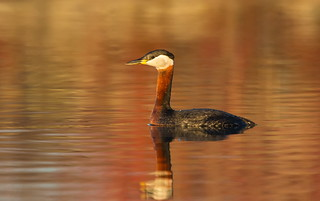 Red-necked Grebe.