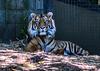 Sumatran Tiger (Merrillie) Tags: wildlife tiger striped sumatrantiger melbournezoo cat zoo fauna magnificent orange animal