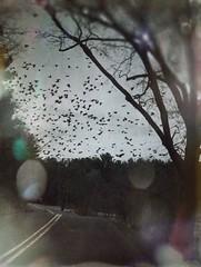 Murder by the roadside (BLACK EYED SUZY) Tags: drive darkart thebirds horror crow roadside birds murderofcrows