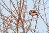 Bouvreuil pivoine (Pyrrhula pyrrhula) (aurelien.ebel) Tags: animal aves birds bouvreuilpivoine eurasianbullfinch fringillidae fringillidés oiseau passériformes pyrrhulapyrrhula