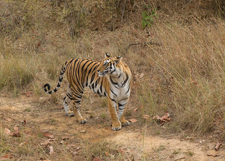 Bengal Tiger - Panthera tigris tigris