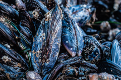 Mussels at Pescadero Beach CA. Taken with the A7R3 and the Leica R 1977, 50mm Summicron f/2 lens in crop senson mode 1.5X (75mm). with a macro adapter.  Edit in Lightroom.  The Black & White version will be posted soon. . . 📷 . . #mussels #shell #s (brianbostwick1) Tags: color sealife sonyimages bris0l0 natureperfection sea leica leicar justgoshoot sony californiaigers california mussels macro macros 50mm nature texture 75mm cool sonya7r3 shellfish colour shell closeup detail colorful fun lightroom