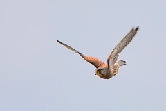C'mon Kes (Tim Melling) Tags: falco tinnunculus kestrel flying flight south yorkshire timmelling