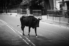PASO DOBLE (N A Y E E M) Tags: cow candid friday afternoon street norahmedroad chittagong bangladesh windshield
