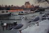 Mouettes (Virginie Marie Photographies) Tags: oiseaux birds mouettes oiseau bird paris seine neige snow animals white sunlight sunset water
