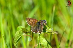 RRR03026-20 de mayo de 2018 (Tres-R) Tags: comarcadepontevedra galicia españa es carballedo pontevedra mariposa butterfly tresr rodolforamallo sonyrx10iii naturaleza nature insectos insect airelibre animals animales