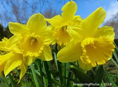 A trio of Daffodils - Keighley West Yorkshire England (WanderingPJB) Tags: flickruploaded flowers yellow daffodils trio three spring springflower smileonsaturday 7dwf cmwdyellow colourfulworld