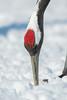 The Red Crown (BP Chua) Tags: japan hokkaido snow bird nature wild wildlife animal red crown head closeup nikon details d850 600mm crane