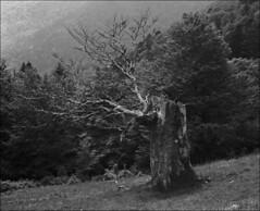 portrait d'un vieil arbre des montagnes (JJ_REY) Tags: arbre tree montagne mountains largeformat 4x5 ilford fp4plus bw negative toyofield 45a fujinon swd90mmf56 epson v800 alsace france
