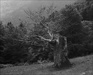 portrait d'un vieil arbre des montagnes