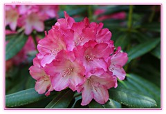 Rhododendrons--springtime beauties! (MEA Images) Tags: rhododendrons flowers blooms flora nature gardens parks rhododendrongarden pointdefiancepark tacoma washington canon picmonkey