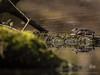 bruine kikker  / rana temporaria (nature photography by 3620ronny.be) Tags: 2018 belgie amfibieen dieren nature ranatemporaria bruinekikker outdoor poel bos kikker animal takken tak zon panasoniclumixdmcgx8 closeup limburg overstromingsgebied belgium maas panasoniclumixdg100400mmf463asphpowerois natuurparkhochterbampd animals natuurfotografie naturephotography boomstronk maaskant