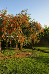 the cherry tree in the garden (2) (mgheiss) Tags: cherrytree olympus pen epl1 kirschbaum garden garten abendlicht eveninglight