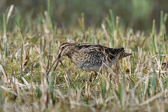 Snipe (NikonNigel) Tags: copyright©nigelcox copyrights