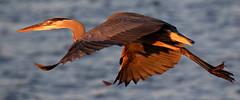 Great Blue Heron fly-by, at sunset...6O3A9320A (dklaughman) Tags: greatblueheron bif bombayhookwildliferefuge delaware