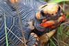 Red-footed tortoise (Juan Anza) Tags: cerrado biomacerrado wildlifepics wildlifephotographer wildlife naturewatcher naturepics naturelover natureza animal animalphotography animalpics brazil tocantins